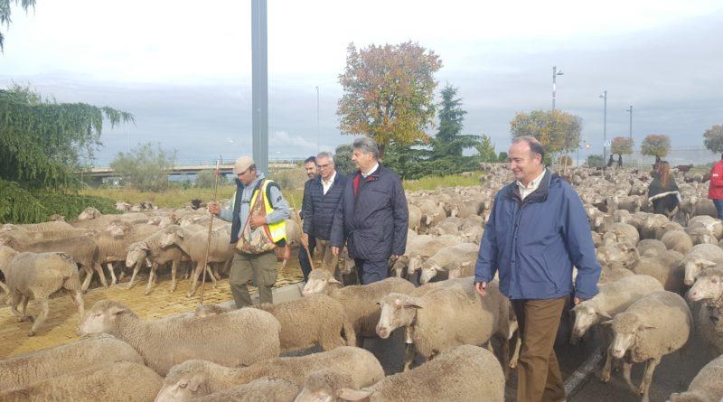 Las ovejas de la trashumancia.