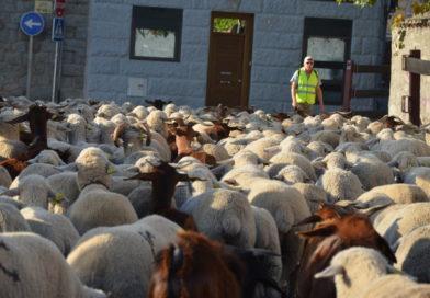 Las 1600 ovejas del rebaño de la trashumancia llegan a Guadarrama en su ruta hasta Madrid