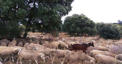 Las ovejas de la trashumancia pasan por El Escorial en su recorrido hasta Madrid.