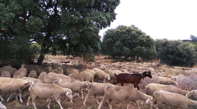 Las ovejas de la trashumancia pasan por El Escorial