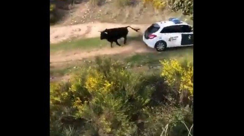 Un toro bravo se escapa en Galapagar y embiste a tres coches de la Guardia Civil